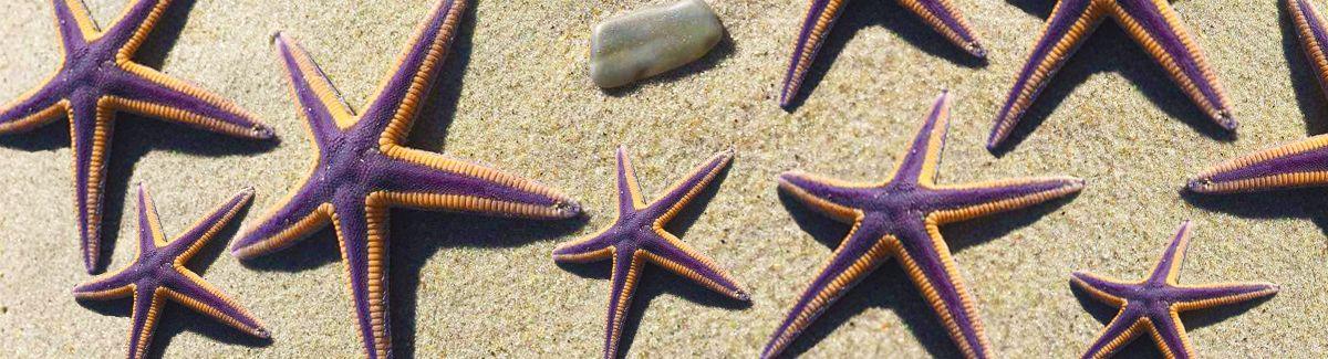 Purple starfish on Hatteras Island