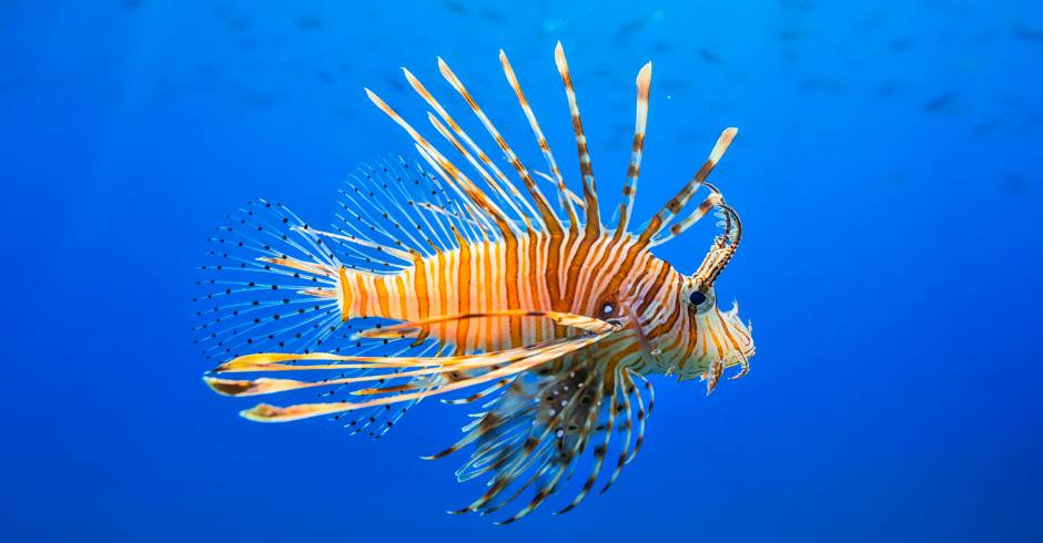 Lionfish in the Gulf of Mexico