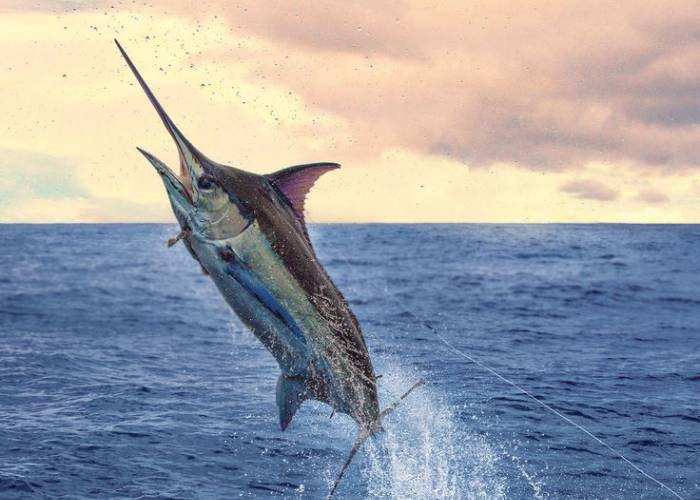 Marlin leaping out of the ocean